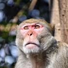 Rhesus Macaque ( रातो बाँदर )