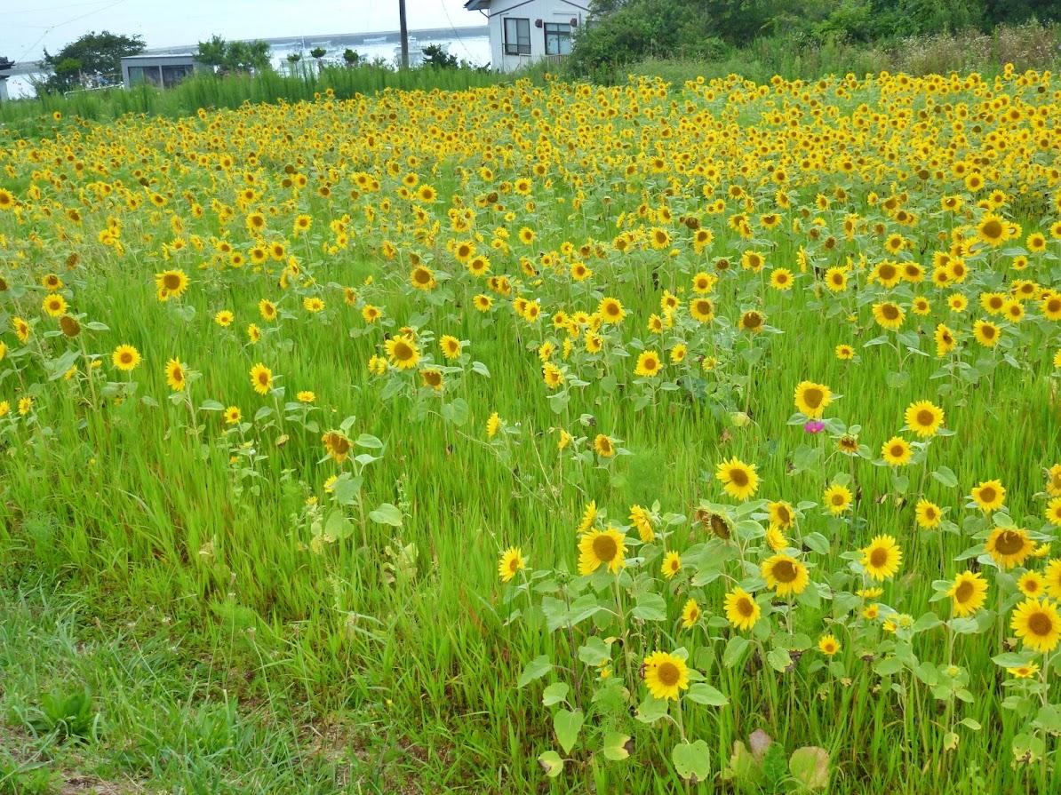 歌津泊浜のひまわり畑 写真7