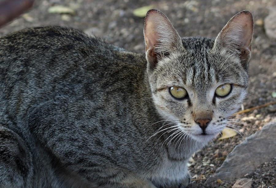 CATS by Vivek Naik - Animals - Cats Portraits