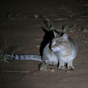 African Wild Cat by Sheila Grobbelaar - Animals - Cats Portraits ( cat )
