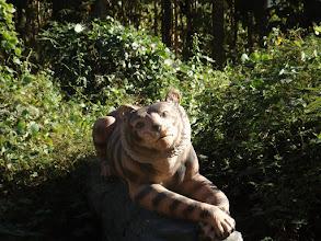 """Photo: Da ist er endlich, der """"sagenumwobene"""" Tiger! Sieht ganz friedlich aus, oder?"""