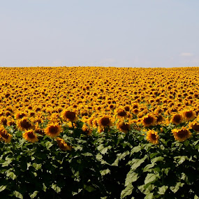 Sunshine and Sunflowers by J.c. Phelps - Landscapes Prairies, Meadows & Fields
