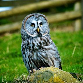 Grey Grey Owl  by Savio Joanes - Animals Birds ( great, owl, prey, grey, birds )