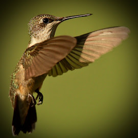 Hummingbird by Mike Craig - Animals Birds