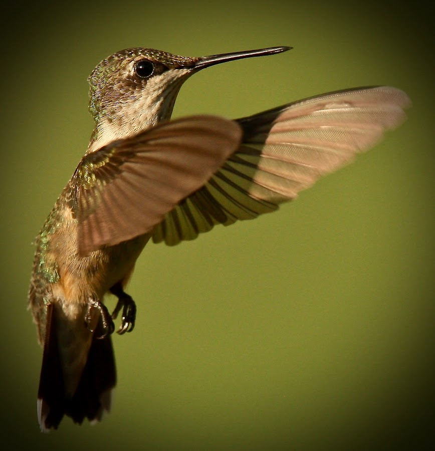 Hummingbird by Mike Craig - Animals Birds (  )