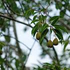 Reevesia thyrsoidea 梭羅樹