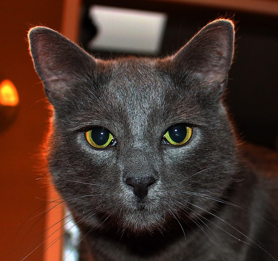 BUDDY by Gary Colwell - Animals - Cats Portraits ( buddy, cat, cat portrait,  )
