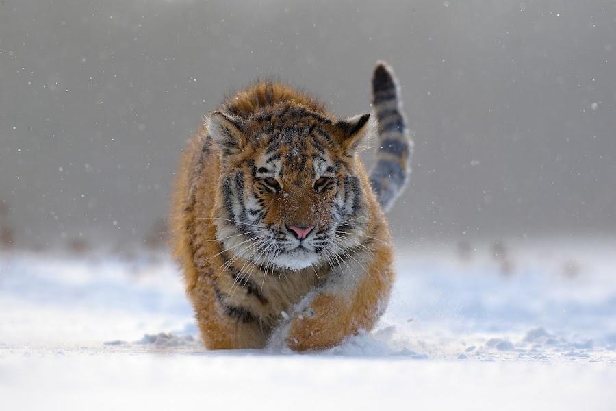 Tygr ussurijský by Alena Bednářová - Uncategorized All Uncategorized