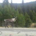 Reno - Boreal Woodland Caribou