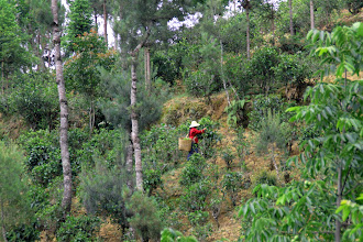 Photo: Picking tea on a slope.