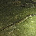 Indo-Pacific Crocodile