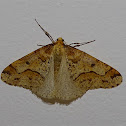 Great Winter Moth