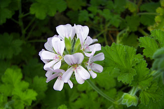 Photo: Scented Geranium Attar of Rose.  Photo credit Log House Plants