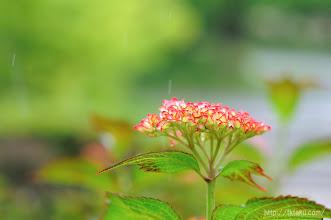 Photo: 5月半ばから咲き始める早咲きのプレジサオ。(2014,05,18)