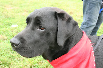 Photo: Aaah, now there is a beautiful boy! Dicer Labrador... Love him to bits!