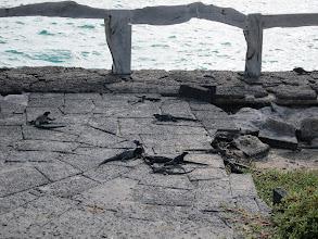 Photo: Baby marine iguanas