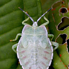 Giant Shield Bug Nymph
