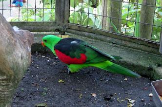 Photo: Краснокрылый попугай (Aprosmictus erythropterus)