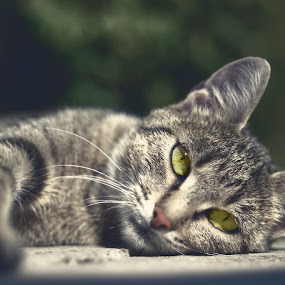 by Admir Kamarić - Animals - Cats Portraits ( cat, green, lazy, eyes )