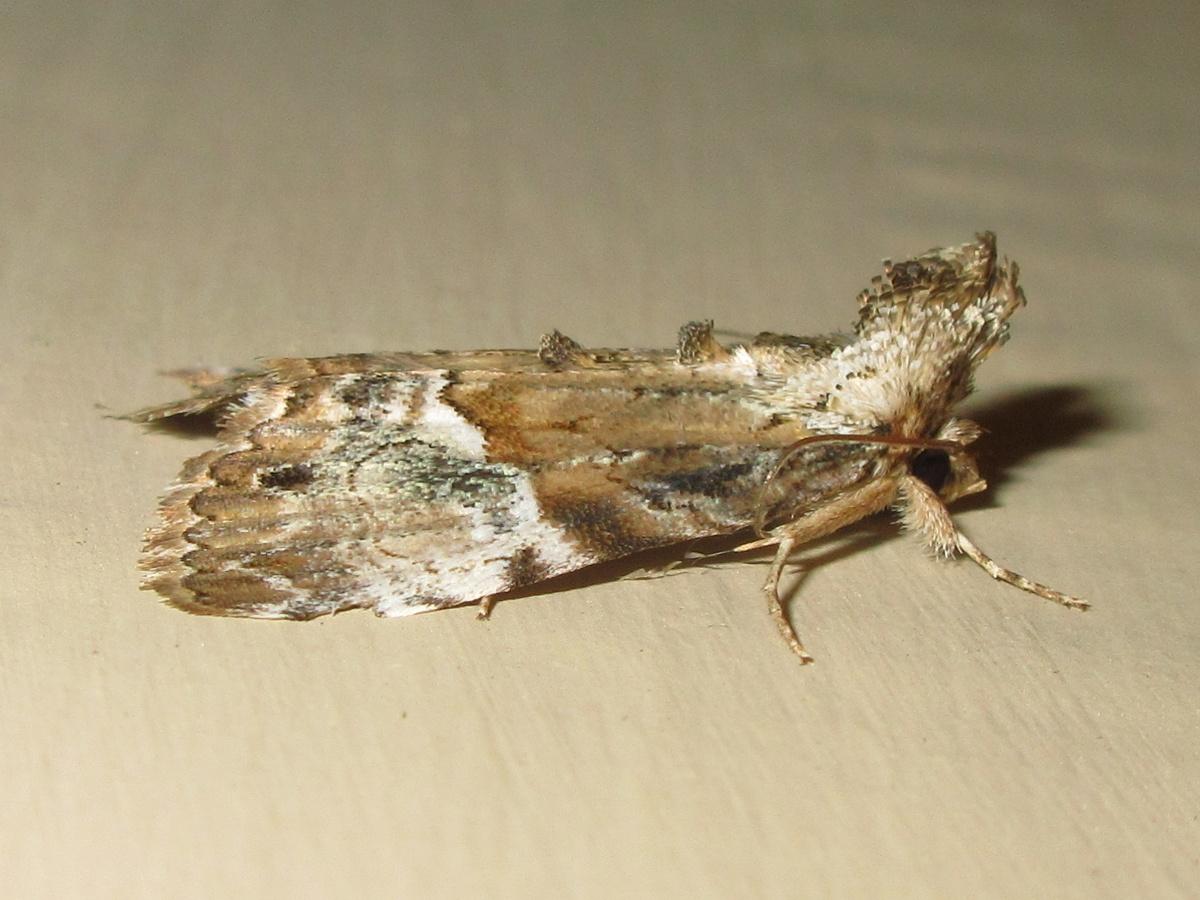 Crested moth
