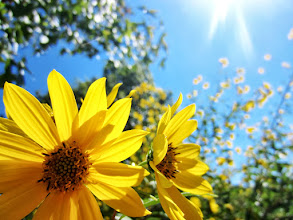 Photo: Bright yellow flowers under sunlight at Cox Arboretum and Gardens in Dayton, Ohio.