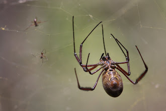 Photo: Nephila orb weaver spider - the two smaller spiders are a male and a mimic (freeloader!)