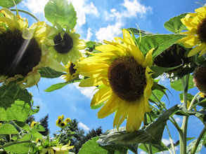 Photo: Sunlight streaming down on sunflowers at Cox Arboretum and Gardens of the Five Rivers Metroparks in Dayton, Ohio.