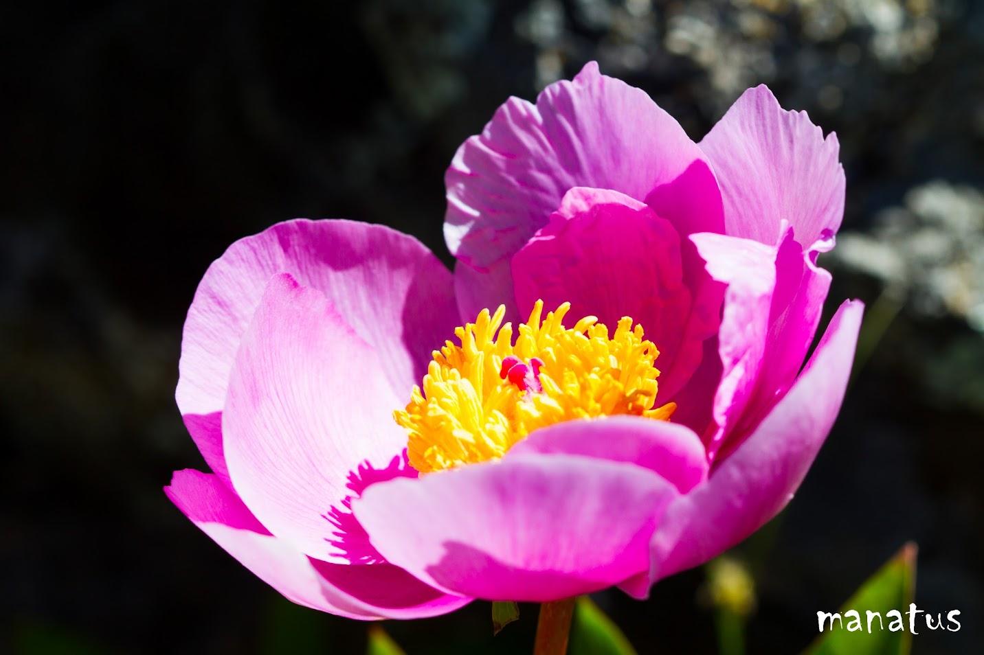 flor amarilla y rosa