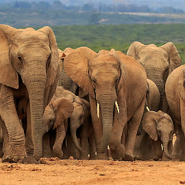 Elephant Family by Leon Coleske - Animals Other Mammals