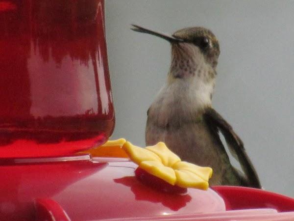 The hummingbirds were swarming around the feeder yesterday when it was raining.