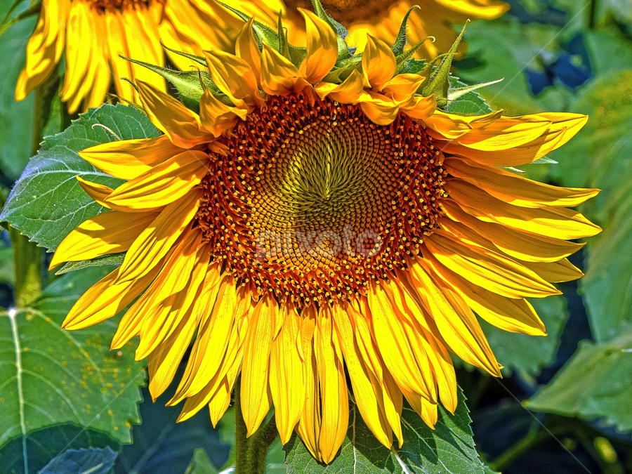 nice sunflower by LADOCKi Elvira - Flowers Flowers in the Wild ( flowers, garden,  )