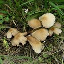 Psathyrella candolleana group