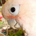 Tanimbar corella aka Goffin's cockatoo