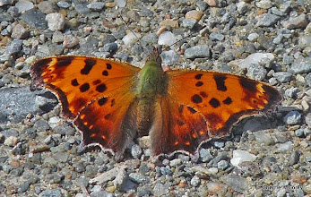 Photo: Comma butterfly