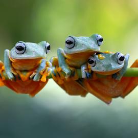 Tree frog rhacophorus reinwardtii by Kurit Afsheen - Animals Amphibians ( frog, amphibian, frogs, animal )