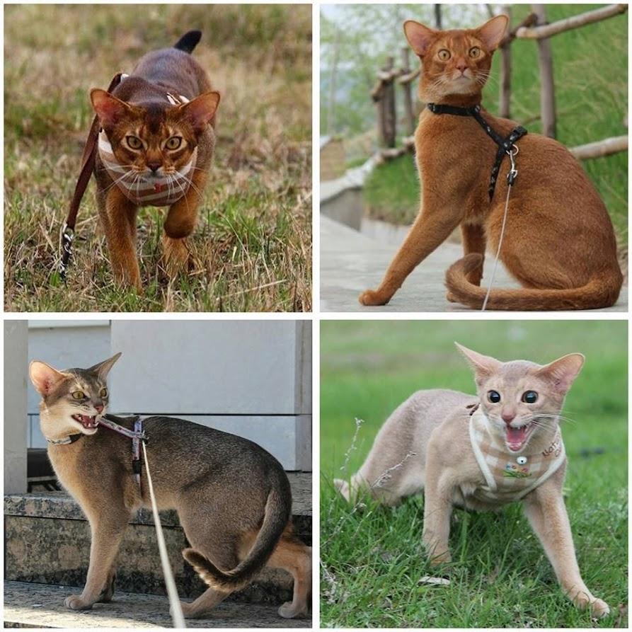 окрасы абиссинский кошек