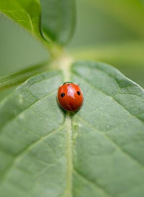 Ladybug di SCB