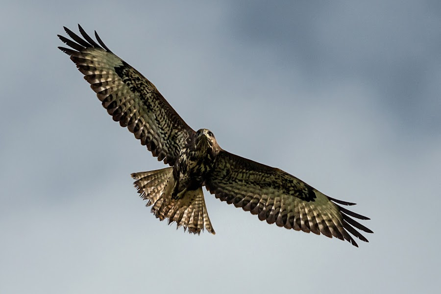 Outstretched Buzzard by Stephen Crawford - Animals Birds ( outstretched, wings, buzzard, in flight, bif,  )
