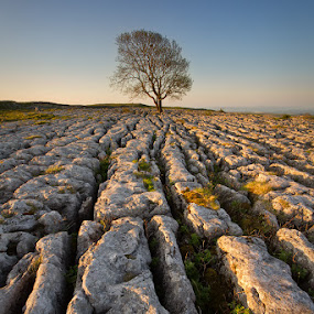 Craggy islands by Neil O'Connell - Nature Up Close Trees & Bushes ( tree, malham, sunrise, limestone pavement, rocks )