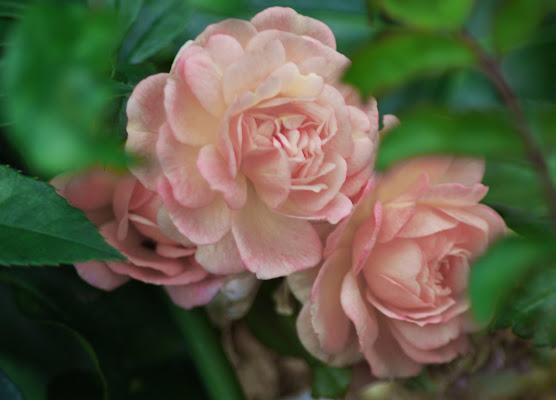 Rosa rosae di AGATA