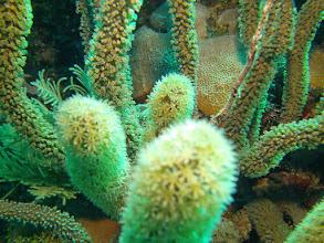 Photo: Giant Slit-Pore Sea Rod (Coral)
