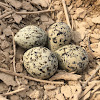 egg Red-wattled Lapwing
