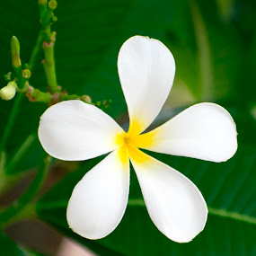 White Plumeria Flower , Plumeria India, Champa, Frangipani by Basant Malviya - Flowers Single Flower ( plumeria, flower,  )