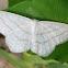 Simple wave moth