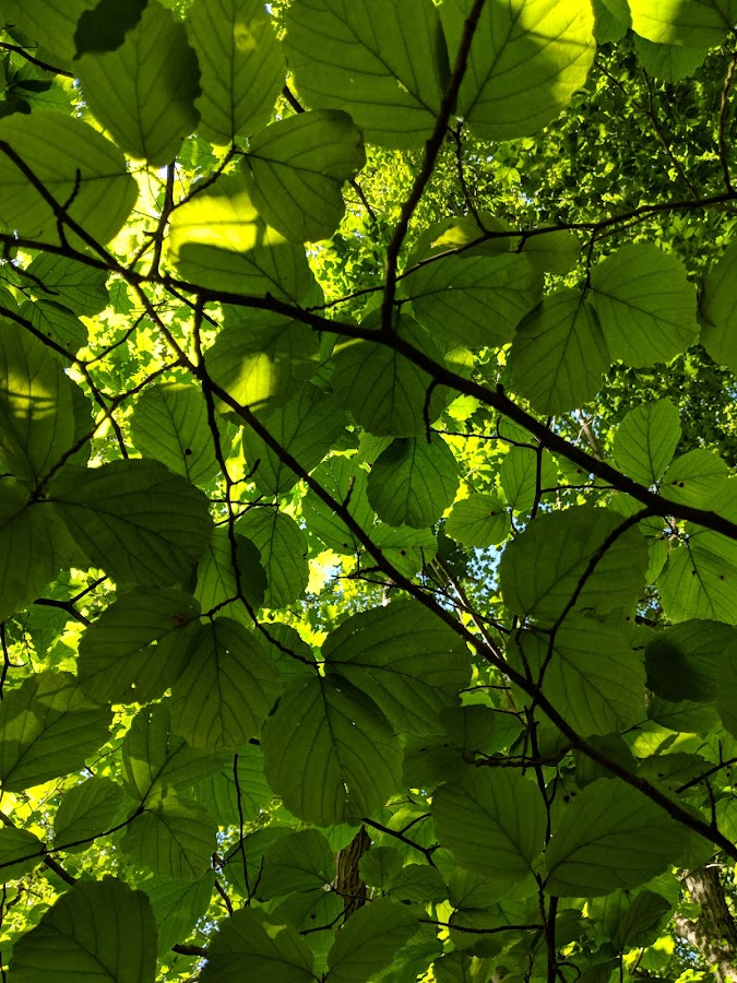 Under Canopy by Erika  Kiley - Novices Only Flowers & Plants ( green, leaves, under, trees, summer )