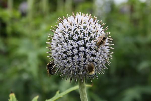 L'ape indaffarata non ha tempo per rattristarsi. [The busy bee has no time for sorrow]. William Blake,  di donac