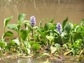 Photo: Camalotes en flor