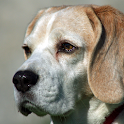 beagle wallpapers free icon