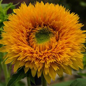 orange sunflower #1 by Frank Barnitz - Flowers Single Flower ( orange, sunflower, flower )