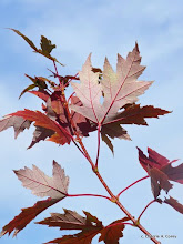 Photo: Silver maple leaves